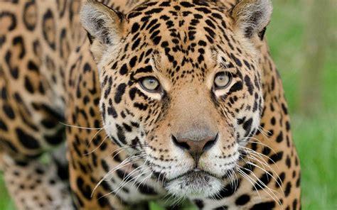Jaguar Animal Iphone Wallpaper - jaguar hd wallpaper and background 1920x1200 id