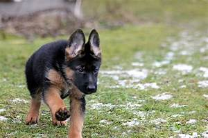what to look for when buying a german shepherd puppy With where to buy german shepherd dog