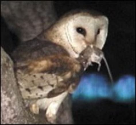 What Do Barn Owls Eat by Feeding Digestion Ryancp1 Weebly