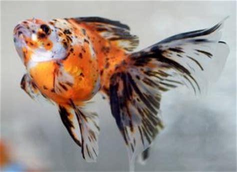 goldfish scale types