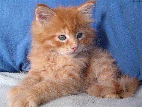 chat persan blanc aux yeux bleus