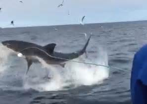 Great White Shark Flying Out of Water