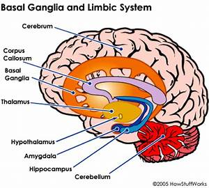 Limbic System And Basal Ganglia  I Didn U0026 39 T Realize That The