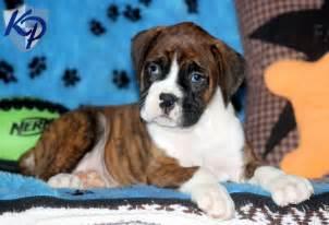Miniature Boxer Puppy for Sale