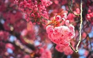 Wallpaper Cherry blossom, Cherry tree, Cherry bloom, 4K
