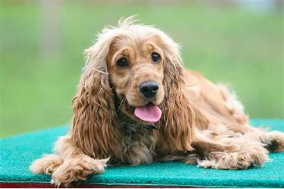 Dog Breeds Popular Dogs Spaniel Pet Pets4homes