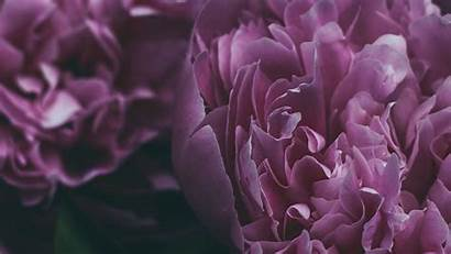 Petals Peony Flower Bloom Ultrawide Monitor Dew
