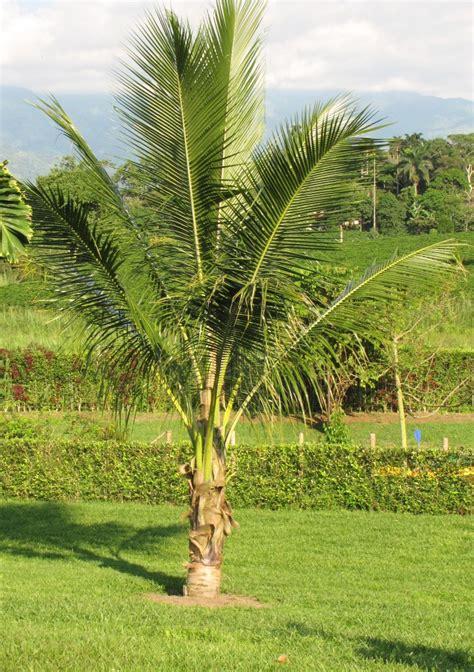 cocos palme pflege kokospalme cocos nucifera pflege vermehrung majas pflanzenwelt