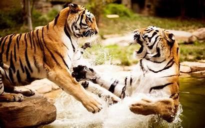 Tiger Pantalla Tigres Tigers Wallpapers Fondo Clic