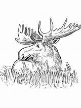 Coloring Grass Elk Printable Erba Moose Colorare Elch Disegno Ausmalbilder Disegni Animal Deer Alce Wild Sitting Drawing Cartoon Animals Konabeun sketch template