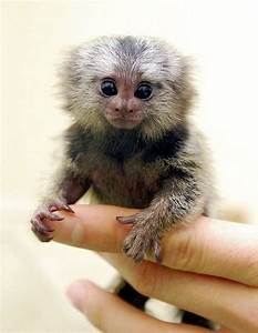 Pygmy marmoset | All Creatures Great and Small | Pinterest ...