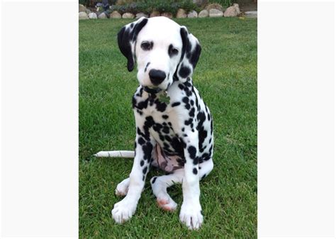 30 days dalmatian puppies for celebrate national puppy day 2014 with fourteen adorable pups