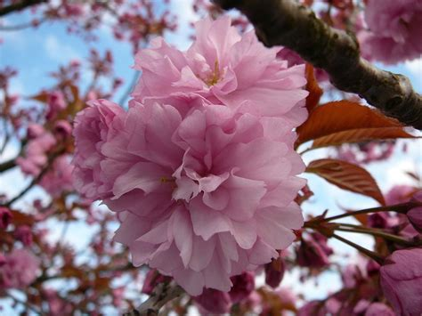 flowering trees pink blossoms match word resource blog giving you the idea rather than the translation jarbled