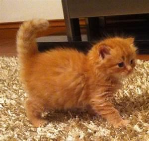 36 Very Beautiful Orange Turkish Angora Cat Pictures And ...