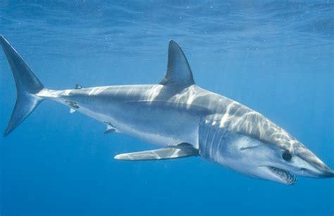 sharks tiburones philltheflyingfish s blog