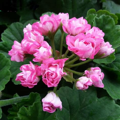 sale pink univalve geranium seeds perennial