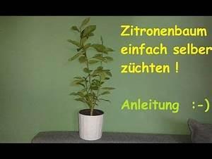 Dünger Für Zitronenbaum : zitronenbaum selber ziehen exotische pflanzen z chten ~ Watch28wear.com Haus und Dekorationen