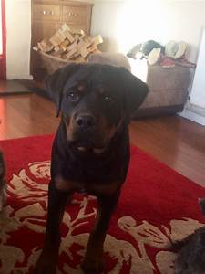 Large male 6month old Rottweiler puppy | Hereford ...