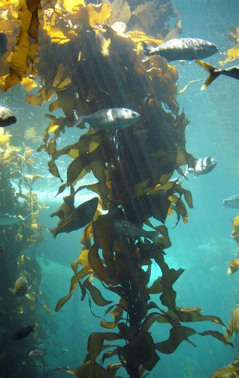 brown algae brown algae wikipedia