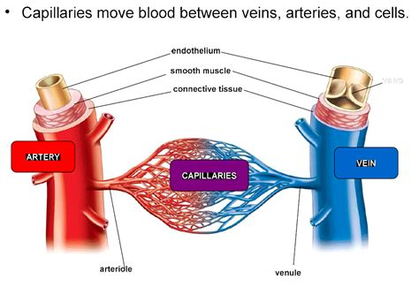 capillary bed definition capillary pictures posters news and on your