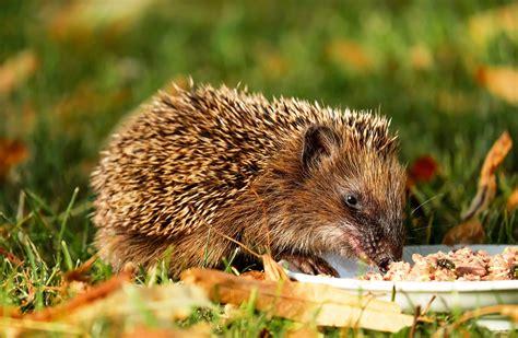 Igel Im Garten Gefunden Herbst by European Hedgehog Animal Facts With Photos