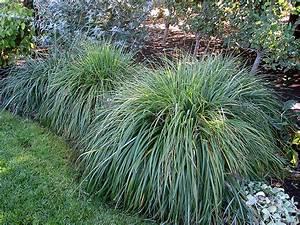 Moudry Fountain Grass (Pennisetum alopecuroides 'Moudry ...