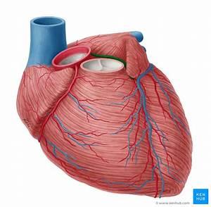 Left Coronary Artery  Anatomy  Branches  Supply