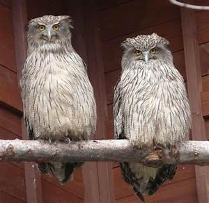 Blakiston's Fish Owl - Jack the Lizard Wonder World