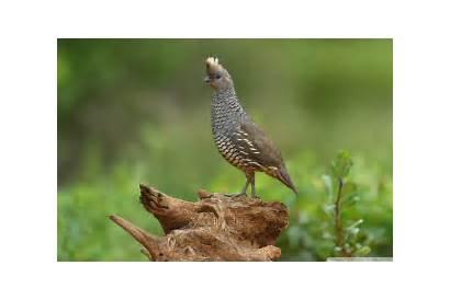 Quail Bird Scaled Season Uhd Carryover Hunting