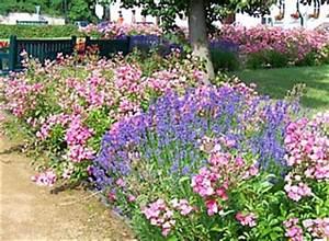 Begleitpflanzen Für Rosen : lavendel schneiden pflege lavandula angustifolia ~ Lizthompson.info Haus und Dekorationen