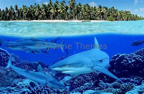 grey reef sharks carcharhinus amblyrhynchos in split shot showing tropical island with coconut