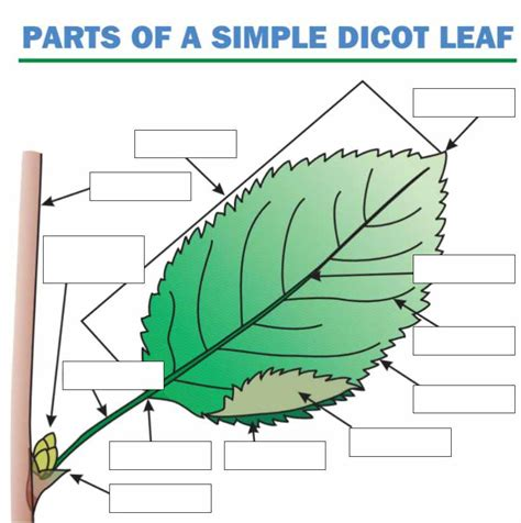Leaf Part Diagram by Imagequiz Leaf Labeling Activity