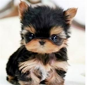 Miniture yorkie too cute!!! Pebbles really needs this to ...
