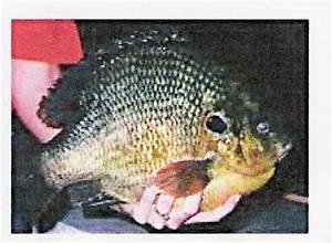 World Record Hybrid Sunfish - Bluegill - Big Bluegill
