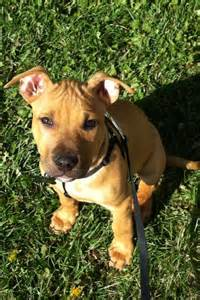 Red Nose Pitbull and Boxer Mix