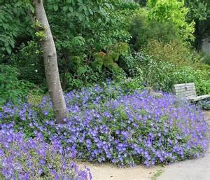 Garden Gate Nursery Gainesville by Plantfiles Pictures Hardy Geranium Cranesbill Rozanne
