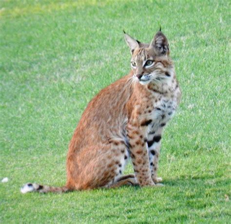 Bobcat Image Impremedianet