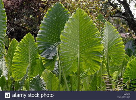 Sri Lanka, Tropical Plant With Large Leaves Standing