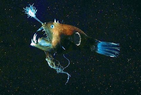 Illuminated netdevil (Linophryne arborifera); Image ONLY