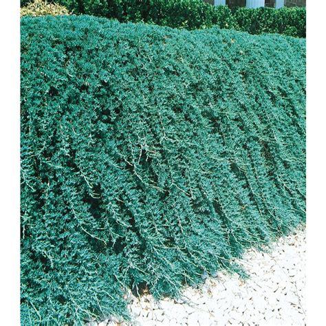 blue rug juniper for shop 2 quart blue rug juniper accent shrub l3121 at