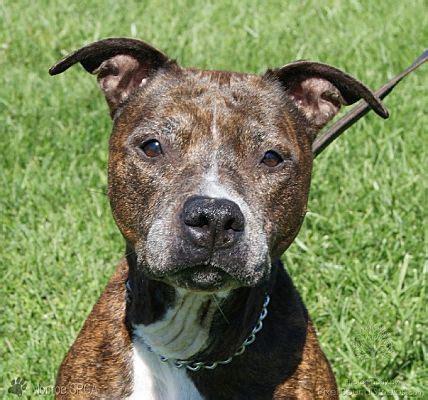 Dundee, MI - Pit Bull Terrier. Meet Fancy - Adoption ...