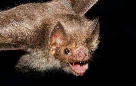 bat vampire bats animals blind female blood nationalgeographic desktop myths science need vampirebat via food dam social