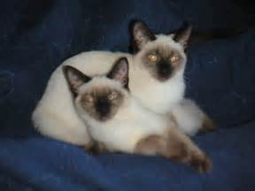 siamese cats for siamese cats images beautiful siamese hd wallpaper and