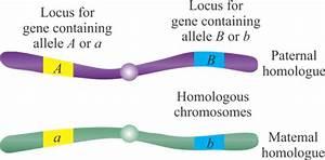 Homologous Pair Of Chromosomes Diagram