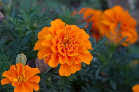 marigold insect repellent 11 plants that repel mosquitoes