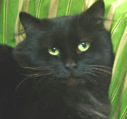 Black Persian Cat with Green Eyes