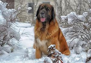 Leonberger Dog 101: 7 Things to Know About This Breed ...