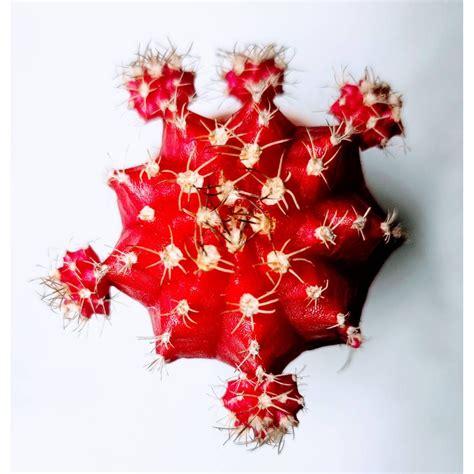 ยิมโนหัวสี (แดง) ขนาดประมาณ 3-5 CM ยิมโนหัวสีกราฟบนตอ (Gymno) #cactus #แคตตัส #กระบองเพชร #ไม้ ...