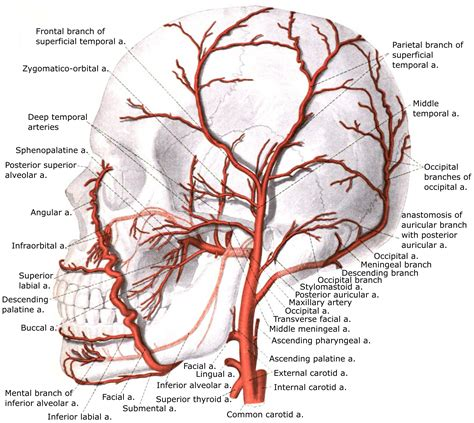 Carotid artery disease is a major cause of stroke in the united states. File:External carotid artery with branches.jpg - Wikimedia ...