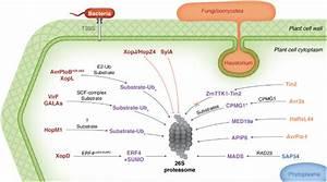 Overview Of Plant Pathogen Effectors That Perturb Host